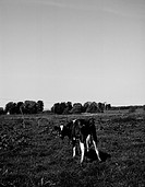 Boskap, ko betar på äng. Cattle, Cow Grazing In Field B/W