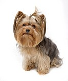 Närbild på Yorkshireterrier, vit bakgrund Close_Of Yorkshire Terrier, White Background