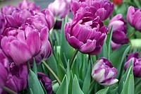 Tulpaner. Lila Dubbla Blommor: Blue Diamond., Close_Up Of Purple Tulips