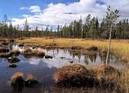 Myr i Lappland. Pond In Forest, Mire, Bog, Lappland, Sweden