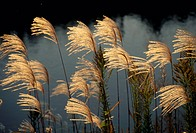 Japanese Pampas Grass (thumbnail)