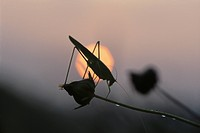 Locust At Sunrise