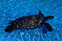 Sea Turtle (thumbnail)