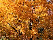 Beech Tree In Autumn (thumbnail)