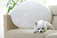 Chihuahua Gazed At From A Sofa (thumbnail)