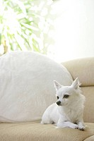 Chihuahua Relaxes At A Sofa