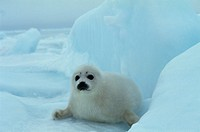 The Baby Of Harp Seal