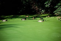 Mallard Ducks In Alga Pond