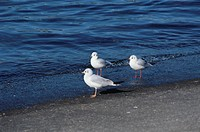 Three Sea Gulls On The Beach In The United States