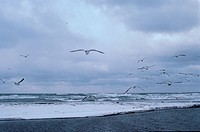 Herring Gulls At Beach