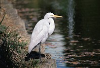 The Snowy Heron On The Riverside