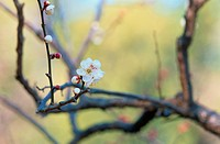 Flowering Branch Of Plum Tree (thumbnail)