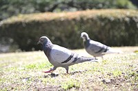 The Pigeon Walking In The Park