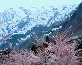 Cherry Blossoms Near Mountains