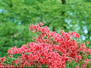 Flowering Azalea Branches