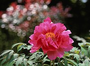 The Flower Of Tree Peony
