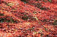 Red Fallen Leaves On Ground