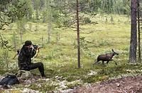 Man hunting forest Älgjakt med älgko framför siktande skytt. Bildserie 4 bilder