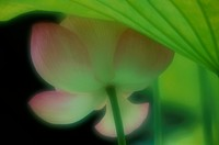 Flower Of Lotus (thumbnail)