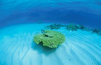 Coral Which Blooms On A Submarine Desert (thumbnail)