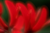 Red Petals