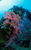 Soft Coral Blooms On A Sunken Ship