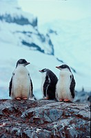 Three Young Penguins On Rocks