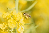 Rape Blossoms And A Honeybee