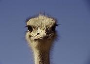 Close_up ostrich Porträtt av struts som tittar argt in i kameran