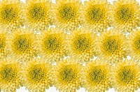 The Sheet Of A Yellow Chrysanthemum