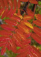 Rönnblad, Höst, Close_Up Of Red Leaves