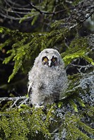 Hornuggleunge Sitter I Gran, Kid Owl Sitting On Branch In Winter