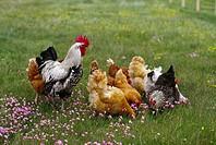 Tupp Och Hönor Går På Gräsmatta, Rooster And Hens In Field