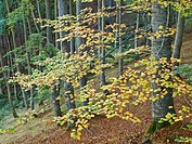 Beech in autumn in Ezcaray - Sierra de la Demanda - La Rioja - Spain