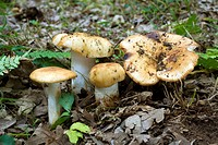 Mushrooms (Russula fragans). Riaza, Segovia, Spain