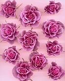 Skära rosor, närbild, skär bakgrund. Close_Up Of Pink Roses, Studio Shot