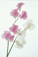 The Sweet Pea Of Pink And White