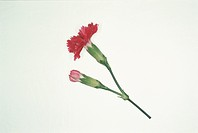 A Red Carnation And A Bud