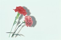 The Carnation Of Red And Pink