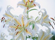 Golden_Rayed Lily