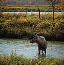Älgko står i vattnet, Rapaselet, Sareks nationalpark, Lappland, Sarek. Cow Elk Standing In River, Sarek National Park, Sweden