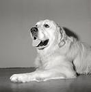 Liggande hund av rasen Golden Retriever, närbild. Close_Up Of Golden Retriever Dog B/W