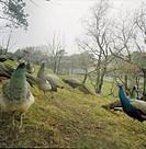 Påfåglar I Slottsskogen, Göteborg, 2005, Peacock In Park