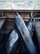 Svärdfisk, Swordfish In Boat