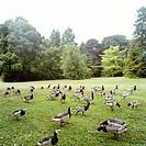 Park, Malmö, Geese In Park