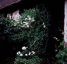 Luktärt, Botanical Garden By House