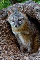 Grey fox cub in front of the den
