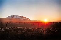 Renhjord i solnedgången. Herd Of Reindeers At Dusk.