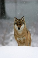 Wolf Canis lupus in a game reserve, Bavarian forest, Germany