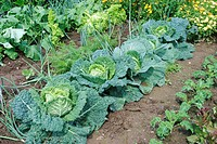 Vegetable garden with zucchini, leek, carrots, cabbage and lettuce
